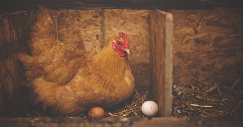 Allestire pollaio guida - Portale Sopravvivenza