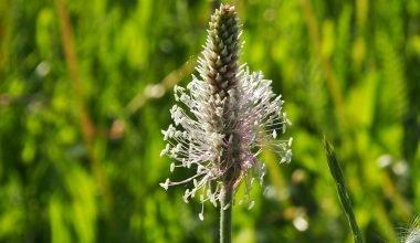 Fiore della piantaggine